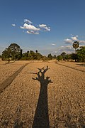 Long shadow of a dead tree with its branches on the dry fields of Laos - portrait