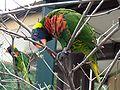 Lorikeet eating tree.jpg