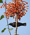 Loten's Sunbird Cinnyris lotenius Male DSCN0107 (8).jpg