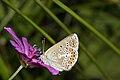 Lycaenidae- Aricia eumedon (7568098788).jpg