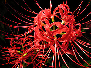 Lycoris radiata English: spiderlily, The flowe...