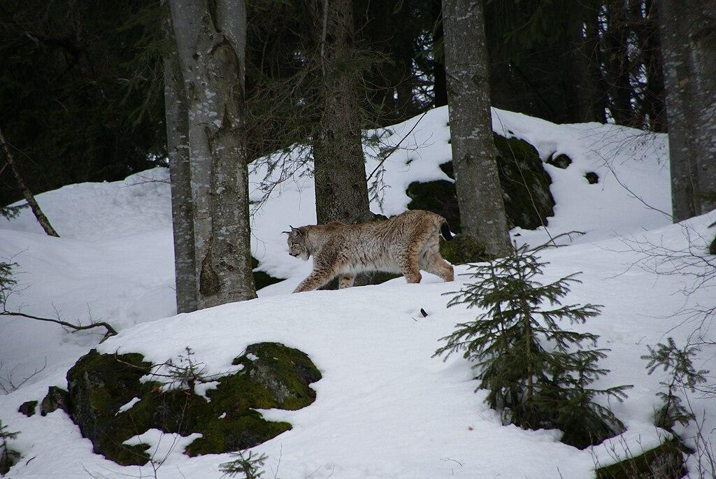 Rys ostrovid (lat. Lynx lynx)