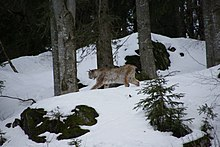 220px-Lynx_Nationalpark_Bayerischer_Wald