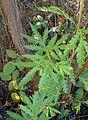 Lyonothamnus floribundus kz7.jpg
