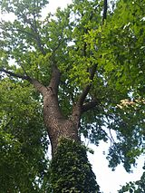 MD.C.C - Quercus robur in the garden of the Museum of Ethnography - may 2017 - 04.jpg
