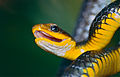 Machete Savane Snake (Chironius carinatus) (10532475474).jpg