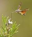 Macroglossum Stellatarum - Esfínge colibrí - Hummingbird Hawk-moth (4552000295).jpg