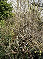 Madeira, Palheiro Gardens - Hibiscus syriacus IMG 2258.JPG