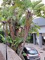 Madeira em Abril de 2011 IMG 1382 (5661722730).jpg