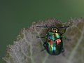 Magnificent Leaf beetle (Chrysomelidae Chrysolina fastuosa) from Central Germany (6987815567).jpg