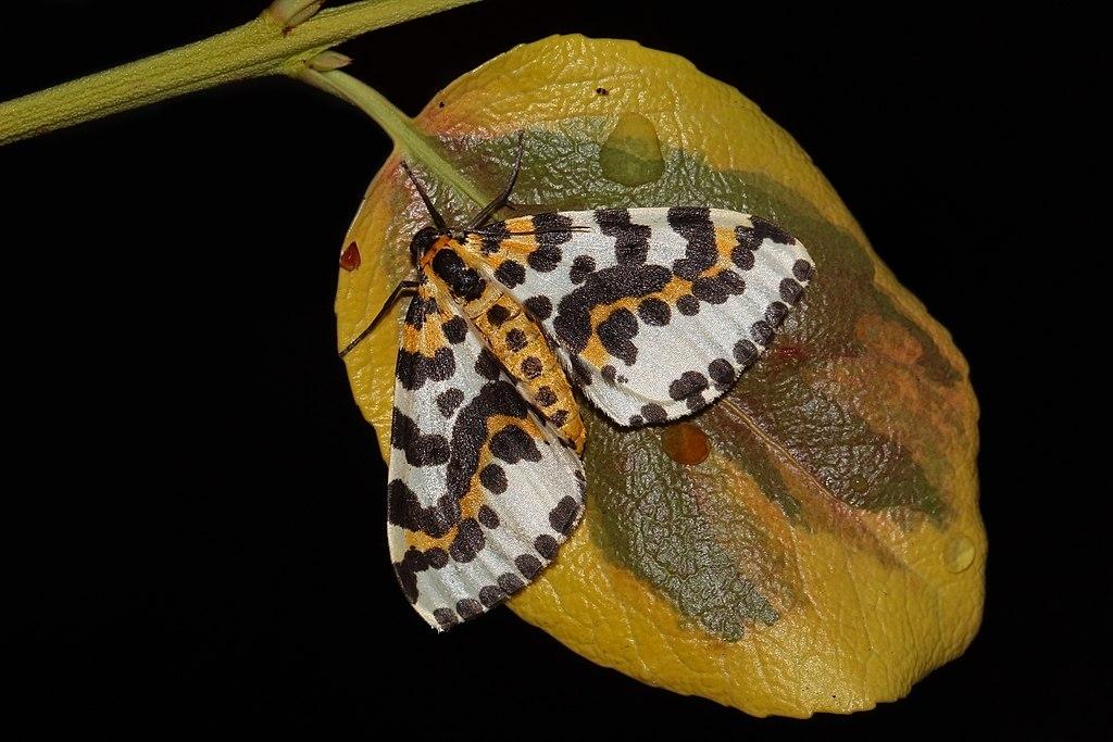 Magpie moth (Abraxas grossulariata).jpg