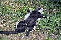 Maki Vari noir et blanc (Zoo Amiens).JPG