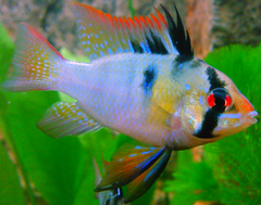 Male Blue Ram.png
