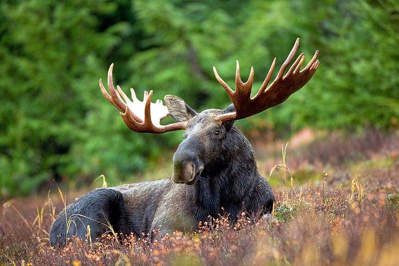 Male Moose.jpg