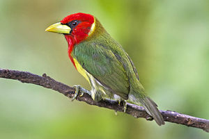 Red-headed barbet - Image: Male Red headed Barbet in Ecuador (14619063547)