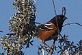 Male Spotted Towhee (pipilo maculatus) (8400654883).jpg