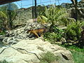 Male Tiger - Oz Auckland Zoo.JPG