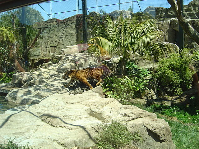 File:Male Tiger - Oz Auckland