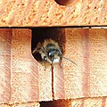 Male red mason bee (Osmia bicornis), Sandy, Bedfordshire (8678303483).jpg