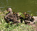 Mallards ducklings with mother.jpg