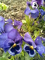 Malpighiales - Viola x wittrockiana 3 - 2011.04.19.jpg