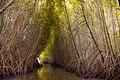 Mangrove forest- Sri Lanka.jpg
