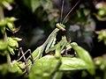 Mantis - MAROC.jpg