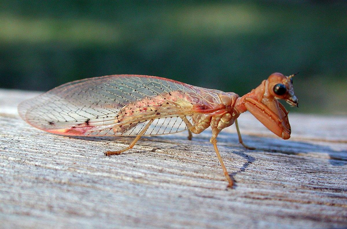 Mantispidae fg1.jpg