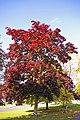 Maple Tree, London N14 - geograph.org.uk - 998391.jpg