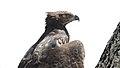 Martial Eagle (Polemaetus bellicosus) (45635801155).jpg