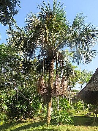 Mauritia flexuosa - Image: Mauritia flexuosa (19861732855)