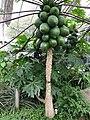 Medicinal Plants - US Botanic Gardens 39.jpg