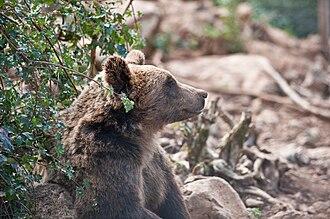 Otočac - Image: Medvjed u Kuterevu 040910 4