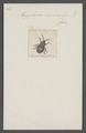Megymenum - Print - Iconographia Zoologica - Special Collections University of Amsterdam - UBAINV0274 040 03 0035.tif