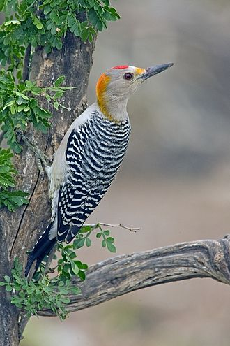 Golden-fronted woodpecker - a male from the northern subspecies group