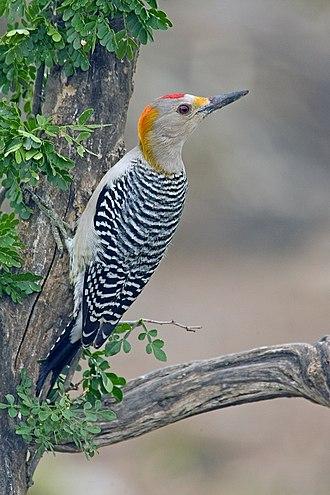 Picinae - Golden-fronted woodpecker,  Melanerpes aurifrons