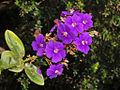 Melastomataceae - Tibouchina grandiflora-6.JPG