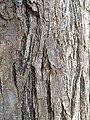 Melia azedarach trunk bark01.jpg