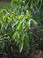 Melicope elleryana leaves.jpg