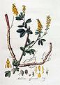 Melilotus officinalis — Flora Batava — Volume v4.jpg