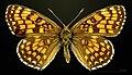 Melitaea athalia MHNT CUT 2013 3 29 Urval female dorsal.jpg
