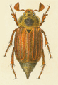 Melolontha pectoralis male.png
