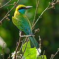 Merops orientalis, green Bee-eater 4.jpg