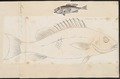 Mesoprion aya - 1774-1804 - Print - Iconographia Zoologica - Special Collections University of Amsterdam - UBA01 IZ12900305.tif