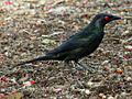 Metallic Starling RWD1.jpg