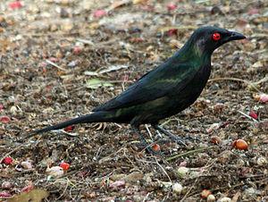 Metallic starling - At Cairns, Australia