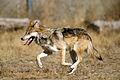 Mexican Wolf 2 yfb-edit 2.jpg