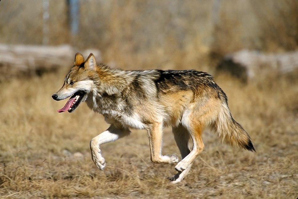 Mexican Wolf 2 yfb-edit 2