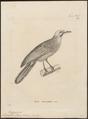 Microscelis ochrocephalus - 1700-1880 - Print - Iconographia Zoologica - Special Collections University of Amsterdam - UBA01 IZ16400005.tif