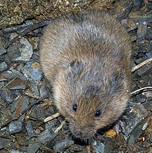 Microtus agrestis 02 by-dpc (cropped).jpg